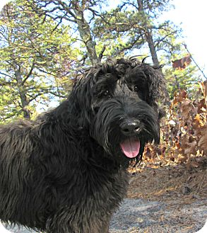 Bouvier des Flandres Dog for adoption in Forked River, New Jersey - Shadow