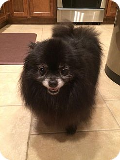 Pomeranian Dog for adoption in Norman, Oklahoma - Lexi