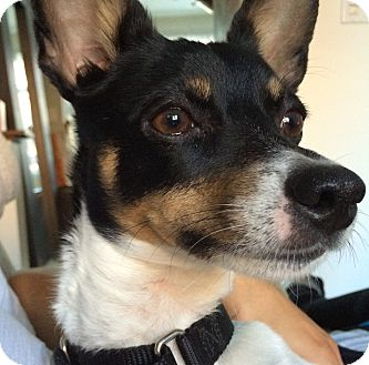 Rat Terrier Mix Dog for adoption in Chicago, Illinois - Corina