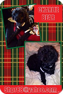 Miniature Poodle Dog for adoption in South Park, Pennsylvania - Charlie Bear