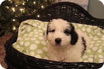 Border Collie/Shih Tzu Mix Puppy for adoption in Hagerstown, Maryland - Cupid