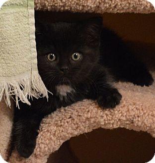 Domestic Mediumhair Kitten for adoption in Owatonna, Minnesota - Elsa
