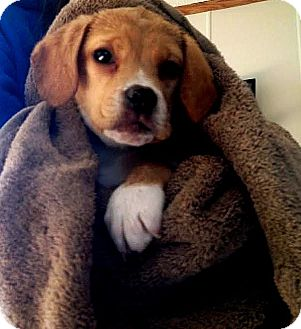 Boxer/Beagle Mix Puppy for adoption in Carey, Ohio - Taylor