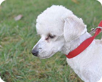 Tea Cup Poodle/Maltese Mix Dog for adoption in Tumwater, Washington - K.c