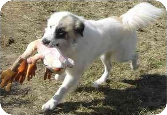 Great Pyrenees/Border Collie Mix Dog for adoption in Kyle, Texas - Ace