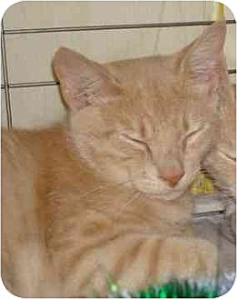 Domestic Shorthair Kitten for adoption in Balto, Maryland - Baby