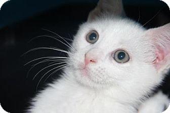 Domestic Shorthair Kitten for adoption in Greensboro, North Carolina - Keenan