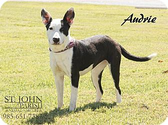 Basenji Mix Dog for adoption in Laplace, Louisiana - Audrie