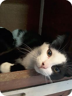Domestic Shorthair Cat for adoption in Toronto, Ontario - Phantom