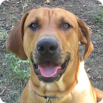 Black Mouth Cur Mix Dog for adoption in Godley, Texas - Buster