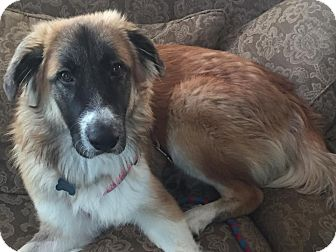 German Shepherd Dog/Great Pyrenees Mix Puppy for adoption in New Oxford, Pennsylvania - Blaze