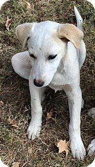 Golden Retriever/Labrador Retriever Mix Puppy for adoption in Moosup, Connecticut - MONTANA