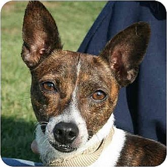 Toy Fox Terrier/Rat Terrier Mix Dog for adoption in Huntley, Illinois - Alex