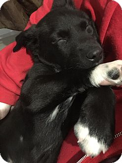 Beagle/Shepherd (Unknown Type) Mix Puppy for adoption in Ada, Minnesota - Aaron-fostered in St.Paul