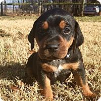 Adopt A Pet :: Lil Oz - Norman, OK