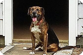 Beagle/Retriever (Unknown Type) Mix Dog for adoption in Niagara Falls, New York - Buckshot(40 lb) Best Dog Ever!