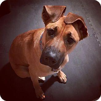 Great Dane/Shepherd (Unknown Type) Mix Dog for adoption in Portland, Oregon - scooby