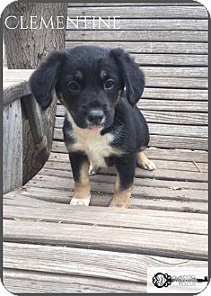 Border Collie Mix Puppy for adoption in DeForest, Wisconsin - Clementine