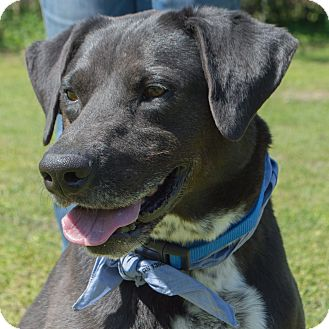 Labrador Retriever/Border Collie Mix Dog for adoption in Kingwood, Texas - Toby