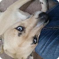 Husky/Shepherd (Unknown Type) Mix Dog for adoption in Helotes, Texas - Brady