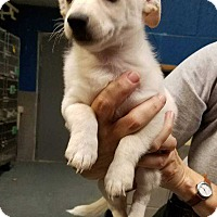 Adopt A Pet :: Cotton (Has Application) - Washington, DC