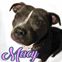 Adopt A Pet :: Macy Blue - Des Moines, IA