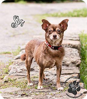 Chihuahua Dog for adoption in Cincinnati, Ohio - Sis