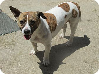 American Bulldog/Jack Russell Terrier Mix Dog for adoption in Clarksville, Missouri - Stella
