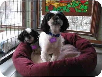 Shih Tzu Dog for adoption in Hayden, Idaho - Brutus
