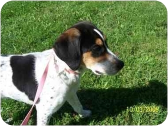 Beagle Mix Dog for adoption in Shelbyville, Kentucky - Scrappy