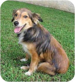 Sheltie, Shetland Sheepdog/Corgi Mix Dog for adoption in La Habra, California - Macoun
