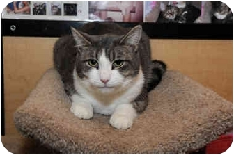 Domestic Shorthair Cat for adoption in Farmingdale, New York - Handsome