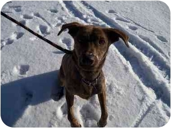 Mountain Cur Mix Dog for adoption in Belleville, Michigan - Scooby--URGENT!