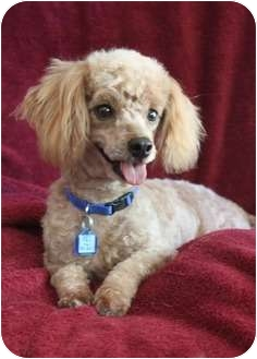 Poodle (Toy or Tea Cup) Dog for adoption in Wichita, Kansas - Joey