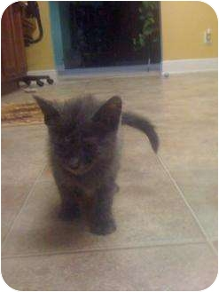 Russian Blue Kitten for adoption in Mobile, Alabama - Magic