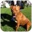 Photo 1 - Boxer/Labrador Retriever Mix Dog for adoption in Baton Rouge, Louisiana - Harley