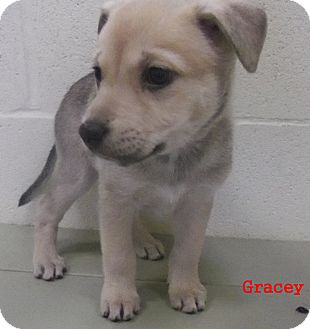Shepherd (Unknown Type) Mix Puppy for adoption in Slidell, Louisiana - Gracey