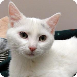 Domestic Shorthair Kitten for adoption in Naperville, Illinois - Snowy