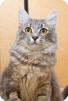 Domestic Mediumhair Cat for adoption in Irvine, California - Mimi