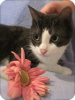 Domestic Shorthair Cat for adoption in Rochester, Michigan - Shimmer