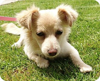 Spaniel (Unknown Type)/Papillon Mix Puppy for adoption in Los Angeles, California - Roxie