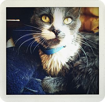 Domestic Shorthair Cat for adoption in Los Angeles, California - Muffin-urgent