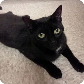 Domestic Shorthair Cat for adoption in McHenry, Illinois - Spice