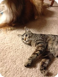 Domestic Shorthair Cat for adoption in Arlington/Ft Worth, Texas - Cadence