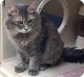 Domestic Longhair Cat for adoption in Phoenix, Arizona - Lucy