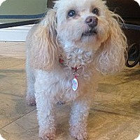 Adopt A Pet :: Shayla- LOVING girl! - Whittier, CA
