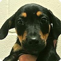 Adopt A Pet :: Vic - white settlment, TX