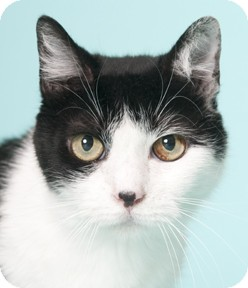 Domestic Shorthair Cat for adoption in Chicago, Illinois - DJ