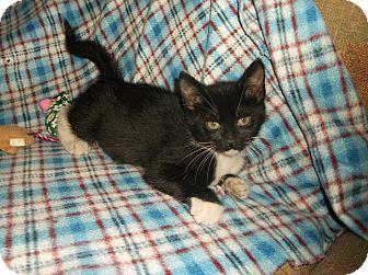 Domestic Shorthair Kitten for adoption in Hampton, Virginia - SWISS