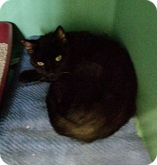 Domestic Shorthair Cat for adoption in Franklin, New Hampshire - Midnight